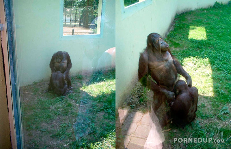A chimpanzee blowjob — photo 9