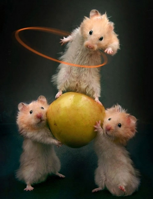 three hamsters doing tricks